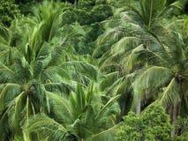 Φυσικά βγάζει φύλλα τον τρόπο ζωής δέντρων φοινικών καρύδων Στοκ Φωτογραφία