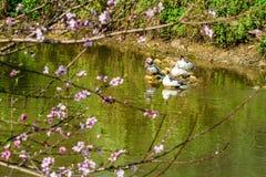 Φυσικά βιετναμέζικα ορεινά άνθη ροδάκινων την πρώιμη άνοιξη Στοκ Εικόνα