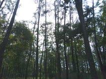 Φυσικά δέντρα πεύκων στοκ εικόνες με δικαίωμα ελεύθερης χρήσης