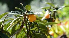 Φυσικά φρούτα loquat στον κλάδο του δέντρου στην ηλιόλουστη ημέρα απόθεμα βίντεο