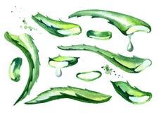 Φυσικά aloe φύλλα της Βέρα καθορισμένα Συρμένη χέρι απεικόνιση Watercolor Διανυσματική απεικόνιση