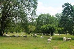 Φυσικές άγριες λιβάδι και sheeps και βαλανιδιές άνοιξη στοκ εικόνες