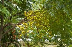 Φυσικές ιατρική δέντρων Neem και ανάπτυξη φρούτων κοντά σε Pune, Maharashtra στοκ εικόνες με δικαίωμα ελεύθερης χρήσης