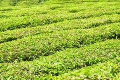 Φυσικές πράσινες σειρές των θάμνων στη φυτεία τσαγιού Στοκ Εικόνες
