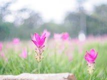 Φυσικές ρόδινες τουλίπες του Σιάμ (alismatifolia κουρκούμης) Στοκ Φωτογραφίες