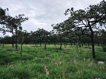 Φυσικές ρόδινες τουλίπες του Σιάμ (alismatifolia κουρκούμης) Στοκ φωτογραφία με δικαίωμα ελεύθερης χρήσης