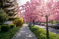 Φυσική άποψη άνοιξης ενός δρόμου πόλεων που ευθυγραμμίζεται από τα όμορφα δέντρα Sakura στο άνθος Στοκ Φωτογραφία