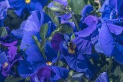 Φυσική άποψη της ζωηρόχρωμης μπλε βιολέτας που ανθίζει στον κήπο κάτω από το φυσικό φως του ήλιου στην ηλιόλουστη ημέρα καλοκαιρι Στοκ Φωτογραφία