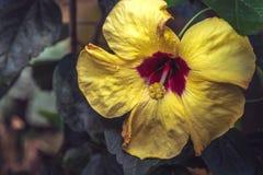 Φυσική άποψη του ζωηρόχρωμου κίτρινου κρίνου που ανθίζει στον κήπο κάτω από το φυσικό φως του ήλιου στην ηλιόλουστη ημέρα καλοκαι Στοκ Εικόνα