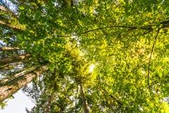 Φυσική άποψη του πολύ μεγάλου και ψηλού δέντρου με το φως ήλιων στο δάσος κατά ανατρέχοντας Στοκ Εικόνα