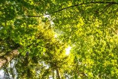 Φυσική άποψη του πολύ μεγάλου και ψηλού δέντρου με το φως ήλιων στο δάσος κατά ανατρέχοντας Στοκ Φωτογραφίες