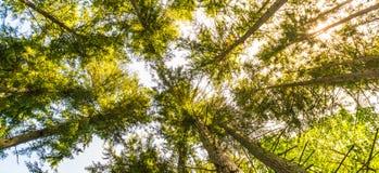 Φυσική άποψη του πολύ μεγάλου και ψηλού δέντρου με το φως ήλιων στο πρόσθιο μέρος Στοκ Φωτογραφία
