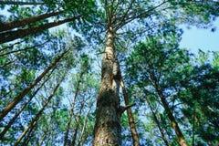 Φυσική άποψη του πολύ μεγάλου και ψηλού δέντρου με το φως ήλιων στο δάσος κατά ανατρέχοντας Στοκ Εικόνες