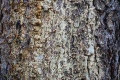 Φυσική ανασκόπηση Ξύλινη σύσταση Κομψός φλοιός με την ξηρά ρητίνη Στοκ Εικόνα