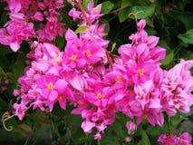φυσική ανθοδέσμη του μεξικάνικου αναρριχητικού φυτού Στοκ εικόνες με δικαίωμα ελεύθερης χρήσης