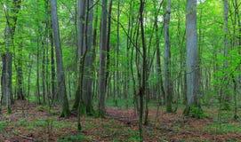 Φυσική αποβαλλόμενη στάση των δέντρων lyme Στοκ φωτογραφίες με δικαίωμα ελεύθερης χρήσης