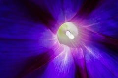 φυσική βιολέτα πρωινού δόξας λουλουδιών χρώματος ανασκόπησης Στοκ Φωτογραφίες