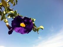 φυσική βιολέτα πρωινού δόξας λουλουδιών χρώματος ανασκόπησης Στοκ Φωτογραφία