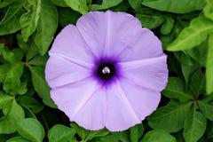 φυσική βιολέτα πρωινού δόξας λουλουδιών χρώματος ανασκόπησης Στοκ φωτογραφία με δικαίωμα ελεύθερης χρήσης