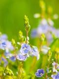 Φυσική λεπτομέρεια με τις μικροσκοπικές μπλε-ιώδεις μικροσκοπικές ανθίσεις και το πράσινο υπόβαθρο bokeh Ηλιόλουστο θέμα ημέρας ά Στοκ εικόνα με δικαίωμα ελεύθερης χρήσης