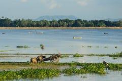 Φυσική ζωή στη λίμνη Taungthaman, γέφυρα UBein, Mandalay, το Μιανμάρ Στοκ φωτογραφία με δικαίωμα ελεύθερης χρήσης