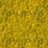 Φυσική κίτρινη σύσταση υποβάθρου Τομέας συναπόσπορων άνοιξη στοκ φωτογραφίες με δικαίωμα ελεύθερης χρήσης
