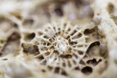 Φυσική μη επεξεργασμένη μακροεντολή απολιθωμένων κοραλλιών στοκ φωτογραφίες