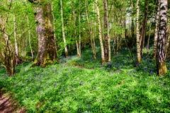 Φυσική ομορφιά των bluebells Στοκ φωτογραφία με δικαίωμα ελεύθερης χρήσης