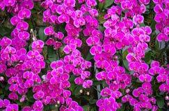 Φυσική πορφυρή ορχιδέα phalaenopsis Στοκ εικόνα με δικαίωμα ελεύθερης χρήσης