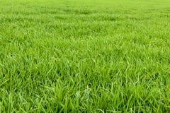 Φυσική πράσινη σύσταση χλόης από έναν τομέα, πράσινο υπόβαθρο χλόης Στοκ Εικόνες