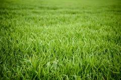 Φυσική πράσινη σύσταση χλόης από έναν τομέα, πράσινο υπόβαθρο χλόης Στοκ Φωτογραφία