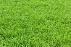 Φυσική πράσινη σύσταση χλόης από έναν τομέα, πράσινο υπόβαθρο χλόης Στοκ φωτογραφίες με δικαίωμα ελεύθερης χρήσης