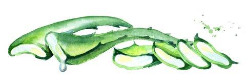 Φυσική aloe οριζόντια σύνθεση της Βέρα Συρμένη χέρι απεικόνιση Watercolor Ελεύθερη απεικόνιση δικαιώματος
