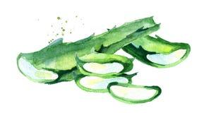 Φυσική aloe σύνθεση της Βέρα Συρμένη χέρι απεικόνιση Watercolor Απεικόνιση αποθεμάτων