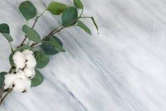 Φυσικοί μίσχος βαμβακιού και κλαδάκι ευκαλύπτων στο μαρμάρινο υπόβαθ στοκ εικόνες με δικαίωμα ελεύθερης χρήσης