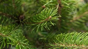 Φυσικοί πράσινοι εορταστικοί κλάδοι έλατου με τις βελόνες Στοκ Φωτογραφίες