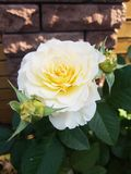 φυσικός άσπρος αυξήθηκε στενός επάνω λουλουδιών στον πράσινο θάμνο στοκ εικόνες