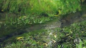 Φυσικός δασικός κολπίσκος Πηγή ελατήριο-νερού, ένα ελατήριο Φιλικό προς το περιβάλλον νερό απόθεμα βίντεο