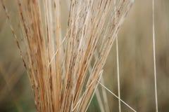 Φυσικός αφηρημένος ριγωτός γεωργίας σύστασης υποβάθρου σωρών αχύρου σανού λεπτομέρειας Thatch καλάμων Defocused Στοκ Εικόνα