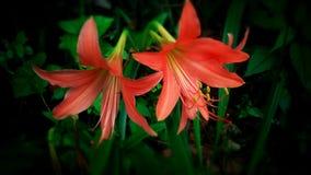 Φυσικός κρίνος λουλουδιών Στοκ φωτογραφία με δικαίωμα ελεύθερης χρήσης