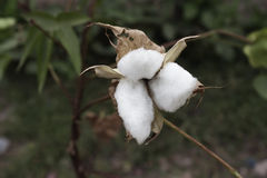 Φυσικός μίσχος των λουλουδιών βαμβακιού που παράγουν το ακατέργαστο βαμβάκι για τη βιομηχανία κλωστοϋφαντουργίας Στοκ Φωτογραφία