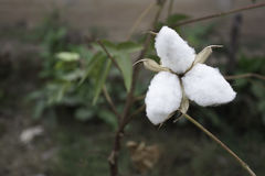 Φυσικός μίσχος των λουλουδιών βαμβακιού που παράγουν το ακατέργαστο βαμβάκι για τη βιομηχανία κλωστοϋφαντουργίας Στοκ Εικόνα