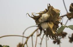 Φυσικός μίσχος των λουλουδιών βαμβακιού που παράγουν το ακατέργαστο βαμβάκι για τη βιομηχανία κλωστοϋφαντουργίας Στοκ φωτογραφία με δικαίωμα ελεύθερης χρήσης