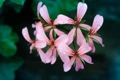φυσικός ρόδινος λουλουδιών ομορφιάς στενός αυξήθηκε επάνω Στοκ Φωτογραφίες