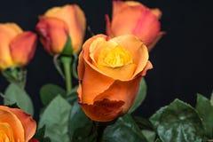 φυσικός ρόδινος λουλουδιών ομορφιάς στενός αυξήθηκε επάνω Στοκ Εικόνες
