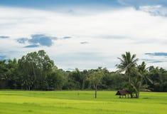 Φυσικός ταϊλανδικός τομέας ρυζιού με το farmer& x27 η καλύβα του s κάτω από το δέντρο καρύδων, κοιτάζει από τη γωνία της θέας Στοκ Φωτογραφίες
