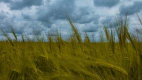 Φυσικός τομέας σίτου Τοπίο φύσης Bueutiful timelapse με τα σύννεφα στην ηλιόλουστη ημέρα φιλμ μικρού μήκους