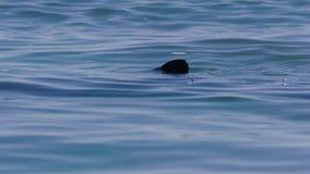 Φυσικός τρηματώδης σκώληκας ενός δελφινιού απόθεμα βίντεο