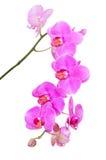 Φυσικός τροπικός κλάδος ομορφιάς των ιωδών λουλουδιών ορχιδεών Στοκ Φωτογραφία