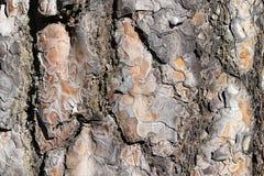 Φυσικός φλοιός πεύκων σύστασης Δέντρο του FIR καφετιού στενού επάνω χρώματος Υπόβαθρο του φλοιού δέντρων στοκ εικόνα με δικαίωμα ελεύθερης χρήσης